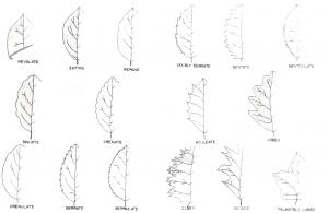 bentuk-tepi-daun