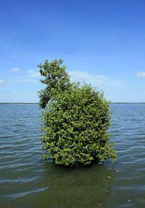 avicennia_marina_grey_mangrove